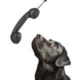 Dog black labrador looks upwards. On phone tube. isolated on white Royalty Free Stock Image