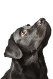 The dog black labrador looks upwards. royalty free stock photos