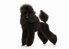 Dog. Black poodle big size isolated on white background Stock Image