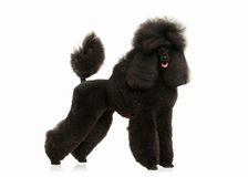 Dog. Black poodle big size isolated on white background. Black poodle big size isolated on white background royalty free stock photography