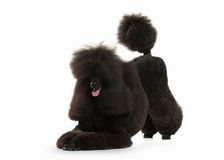Dog. Black poodle big size isolated on white background Stock Photography