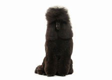 Dog. Black poodle big size isolated on white background Stock Images