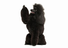 Dog. Black poodle big size isolated on white background Royalty Free Stock Images