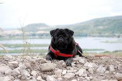 The dog a black pug lies on the earth Royalty Free Stock Photos