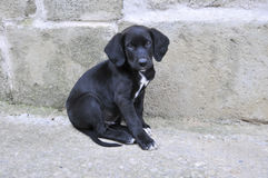 Dog black puppy Royalty Free Stock Images