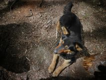The dog is black with red lying on a forest trail. stock image