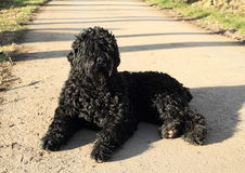 Dog - Black Russian Terrier. Black dog - Black Russian Terrier or Tchiorny Terrier (Canis lupus familiaris) lying on asphalt road Royalty Free Stock Images