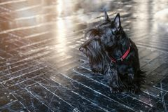 Dog black Terrier, on the black floor in the sun, toning stock image
