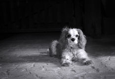 Dog black and white. Black and white portrait of a Cavalier King Charles spaniel on old stone floor with copy space Stock Images