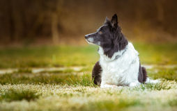 Dog - Black and White Border Collie - Lying on the Meadow with White Blooming Flowers. Royalty Free Stock Photography