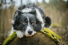 Dog Lying on the Mossy Log. Dog - Black and White Border Collie - Lying on the Mossy Log in the Forest Stock Photography