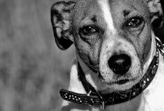 Dog, Black And White, Dog Breed, Dog Like Mammal Stock Photo