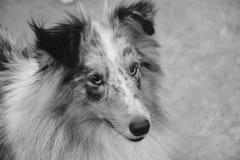 Dog, Black And White, Dog Breed, Dog Like Mammal Royalty Free Stock Photography
