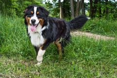 Dog. A black and white hairy puppy with long tongue Stock Images