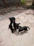 Dog black White pet Royalty Free Stock Image