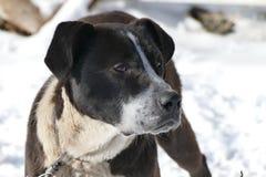 Dog black and white Royalty Free Stock Image
