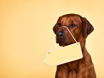 Dog with blank arrow plate to put text in. A close-up portrait of the Rhodesian Ridgeback with a blank yellow arrow plate hanging on its nose. A signboard can be Royalty Free Stock Image
