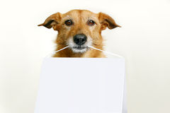 Dog with a blank sign. Cute scruffy dog holding a blank sign Royalty Free Stock Photography