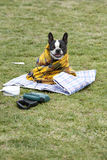 Dog in a blanket Royalty Free Stock Photography