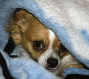 Dog in a blanket Royalty Free Stock Images
