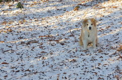 Dog blending in with snow and dead leaves. A tan and white Australian Shepherd dog blending in with the snow and dead leaves it is sitting on Stock Photos