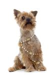 Dog with Bling. Shaggy small breed dog draped with beaded necklace.  Isolated on white Stock Photos
