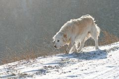 Dog in Blizzard Stock Images