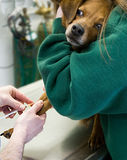 Dog Blood Drawn at Vet. An apprehensive dog getting its blood drawn at the Vet's office Stock Photography