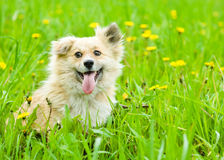 Dog on blooming dandelion meadow Stock Images