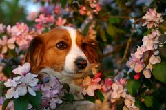 Dog in the blossoms. A portrait of a dog surrounded with beautiful pink blossoms Royalty Free Stock Photo