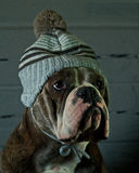 Dog in a blue baby hat. Olde English Bulldog in a blue baby hat Royalty Free Stock Images