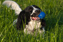 Dog with a blue ball Stock Photos