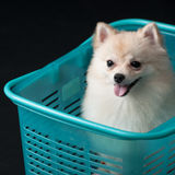 Dog in a blue basket Stock Images