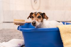 Dog in blue bath tub stock images