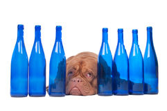 Dog and blue bottles Royalty Free Stock Photos