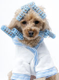 Dog in Blue Curlers. A poodle ready for the hair salon wearing a white and blue terry cloth bathrobe and blue curlers isolated on a white background royalty free stock photo