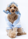Dog in Blue Curlers and Bathrobe. A poodle ready for the hair salon wearing a white and blue terry cloth bathrobe and blue curlers isolated on a white background stock images