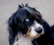 Dog with blue eye Stock Photography