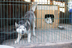 Dog with blue eyes in the street open-air cage Stock Photography