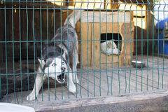 Dog with blue eyes in the street open-air cage royalty free stock photography