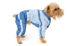 Dog in a blue jacket. Royalty Free Stock Photos