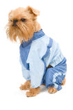 Dog in a blue jacket. Royalty Free Stock Image