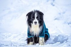 Dog in blue platen is sitting in snow in winter time. royalty free stock photos