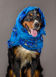 Dog in blue scarf Royalty Free Stock Photos