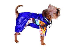 Dog in blue suit Royalty Free Stock Images