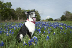 Dog in Bluebonnets. Black and white dog sitting in bluebonnets in Texas Royalty Free Stock Photography