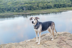 Dog on the Bluff. A mixed breed dog standing on the bluff above a river stock photos