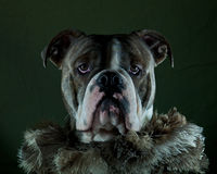 Dog in boa. A blue brindle Olde English Bulldog in boa stock photo