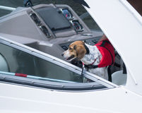 Dog on boat lifejacket. A dog enjoying a ride on a boat while wearing his life vest Royalty Free Stock Photography