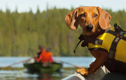 Dog boat trip. Dog control of boat trip on the lake royalty free stock photos